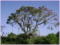 Beautiful Acaciawood Tree in the backyard of the Zimbali Holiday Home's Acaciawood villa