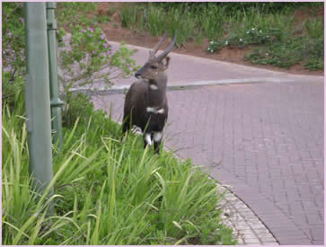 Buck are a common siting from the Zimbali Holiday Home, and throughout the Zimbali estate